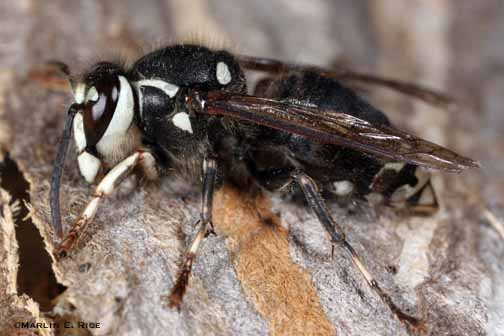hornet-wasp-bee-control-boxborough-ma-bee-removal
