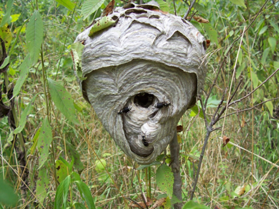hornet-nest-removal-boxborough-ma-wasp-bee-control