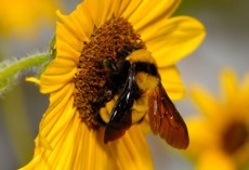 bumble-bee-ground-bee-carpenter-bee-removal-boxborough-ma