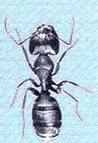 ant-pest-control-treatment-andover-ma-carpenter-ant-picture
