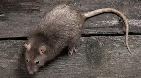 mouse-pest-control-beverly-ma-rodent-rat-mice-extermination-rodent-exterminating-control
