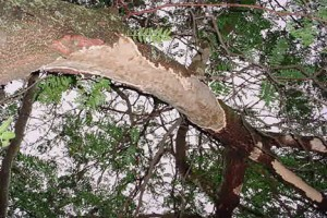 squirrel tree bark damage