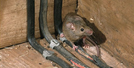 house mouse chewing electrical wiring