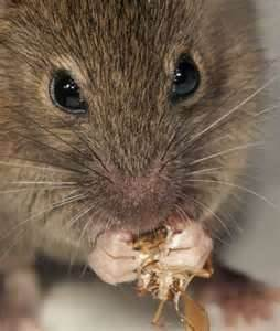 mouse close-up