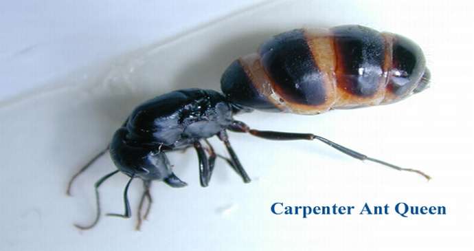carpenter ant queen