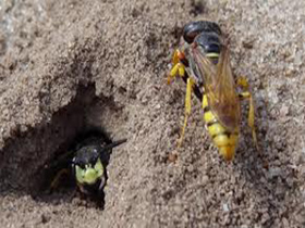 yellow-jacket-control-hanson-ma-wasp-nest-removal