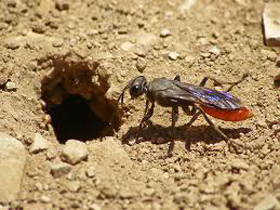 digger-wasp-control-boston-ma-hornet-bee-removal
