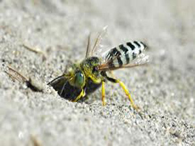 ground-bee-removal-hanson-ma-bee-removal