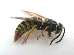 yellow-jacket-control-boxford-ma-was-hornet-nest-removal