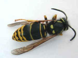 yellow-jacket-removal-dedham-ma-wasp-bee-control