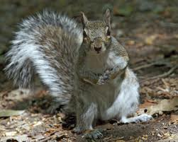 Grey-Squirrel-Burlington-MA