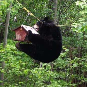 bear-in-bird-feeder-winchendon-ma