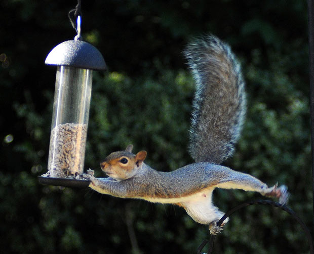squirrel-control-needed-squirrel-jumping-to-bird-feeder