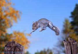 grey-squirrel-jumping-from-tree-to-tree