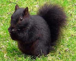 black-squirrel-color-change