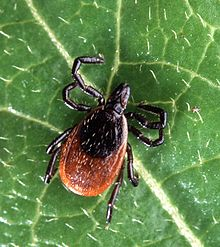 Pest control-services-ma-black legged deer tick-spraying-tick-elimination-mass